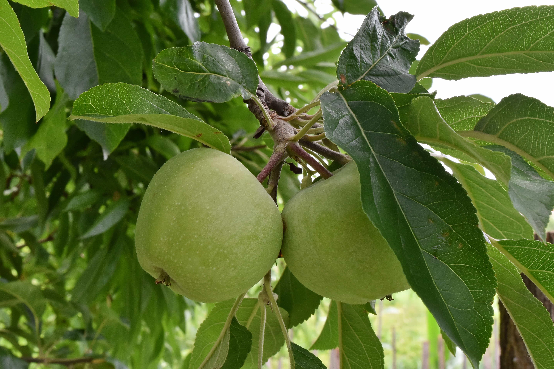 Foto Di Alberi Da Frutto foto gratis: albero di mele, mele, rami, albero da frutto