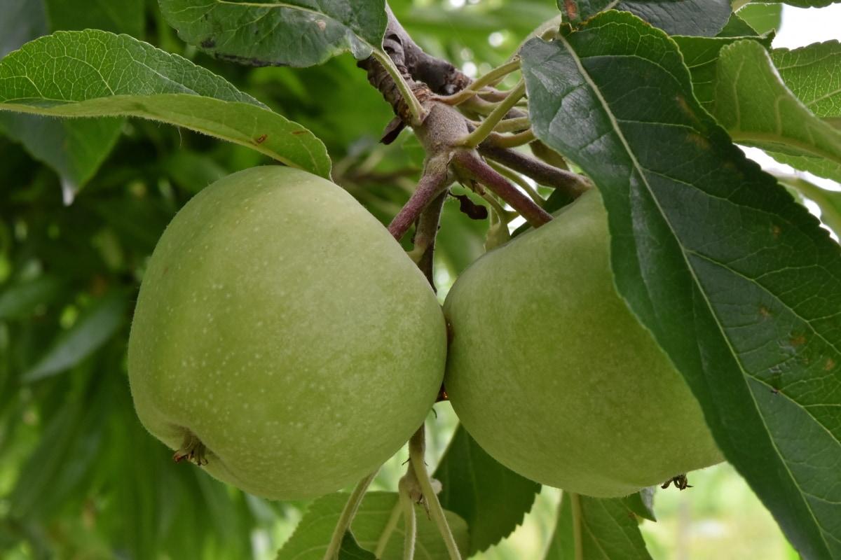 農業, リンゴの木, りんご, 緑の葉, 緑がかった黄色, 果樹園, 葉, ツリー, 自然, 食品