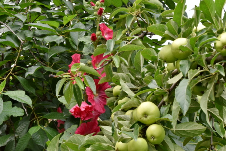 apple tree, branches, flower, garden, orchard, organic, leaf, tree, agriculture, fruit
