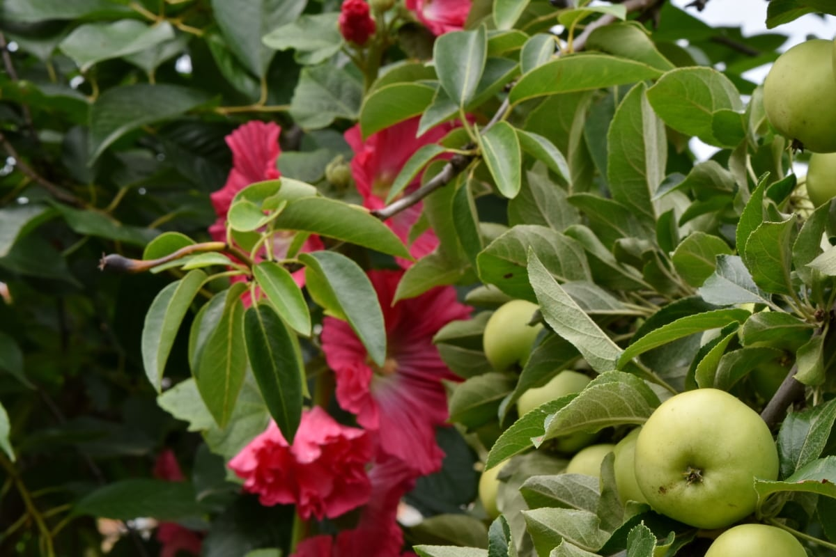 Μηλιά, λουλούδι στον κήπο, Περιβόλι, θάμνος, φύση, φύλλο, φούξια, φυτό, δέντρο, χλωρίδα
