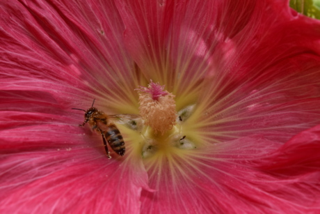 ecology, honeybee, insect, metamorphosis, pistil, nature, pollen, plant, flower, outdoors