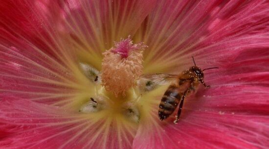 Detail, Blume, Honigbiene, Insekt, Nektar, Pollen, Anlage, Natur, Biene, Strauch
