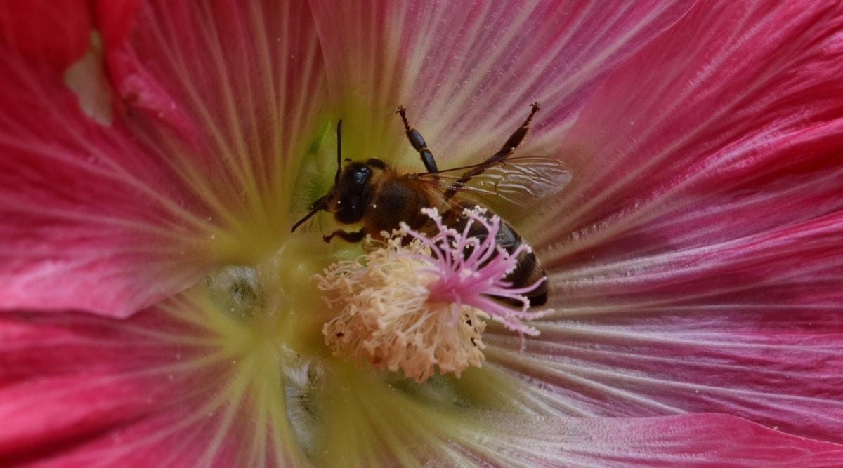 bie, insekt, blomst, natur, leddyr, pollen, anlegget, flora, Sommer, utendørs
