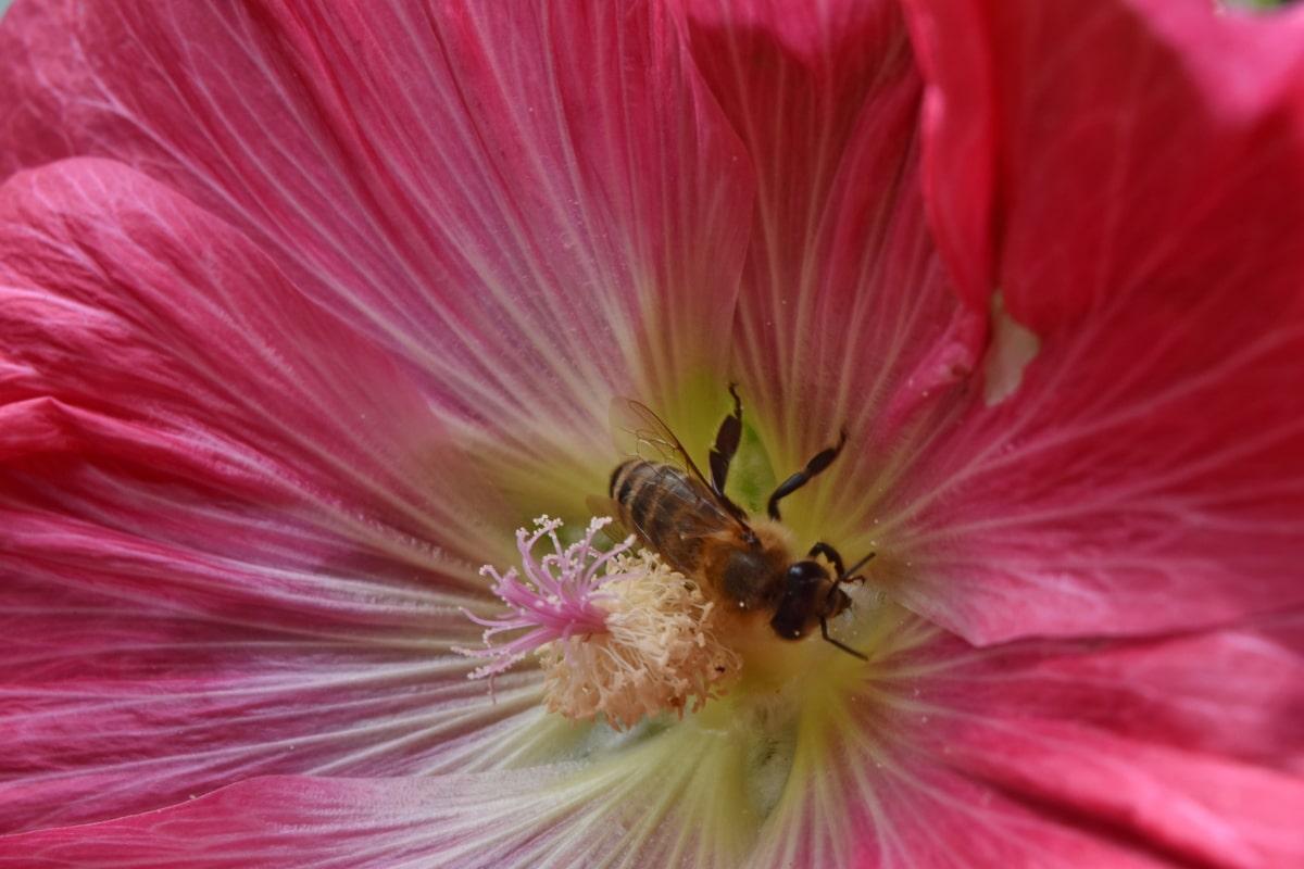 ผึ้ง, การถ่ายละอองเรณู, เวลาฤดูใบไม้ผลิ, ละอองเกสร, ดอกไม้, ไม้พุ่ม, ธรรมชาติ, โรงงาน, สีชมพู, ฟลอรา
