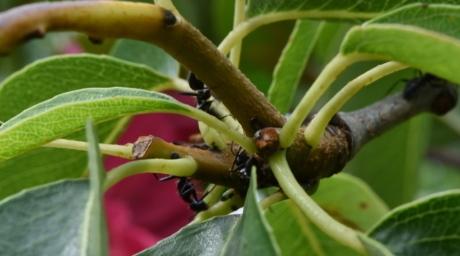 maur, grønne blader, insekt, blad, anlegget, natur, treet, flora, utendørs, nærbilde