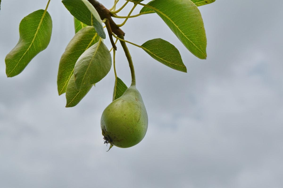 blå himmel, gren, frugt, frugttræ, hedelmätarha, pære, blad, natur, træ, flora
