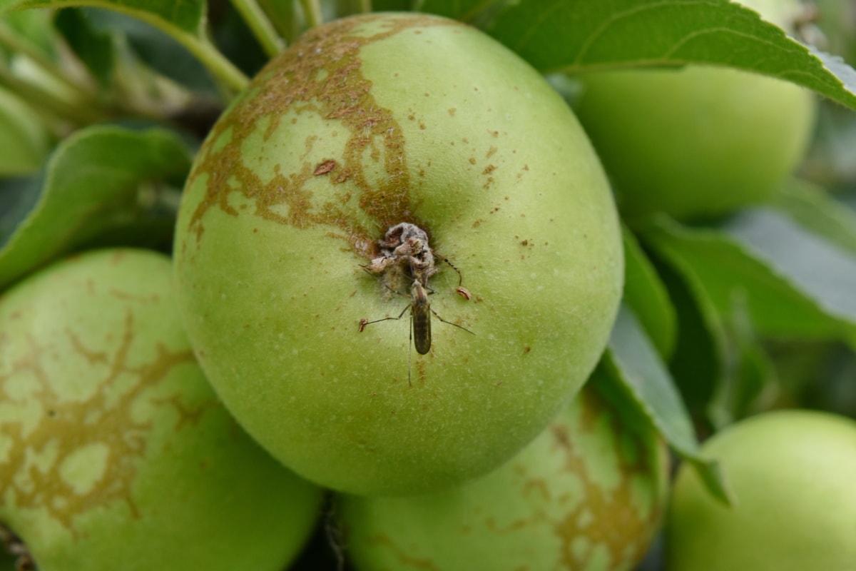 яблоко, Яблоня, зеленые листья, насекомое, комаров, Здравоохранение, Природа, питание, лист, Витамин