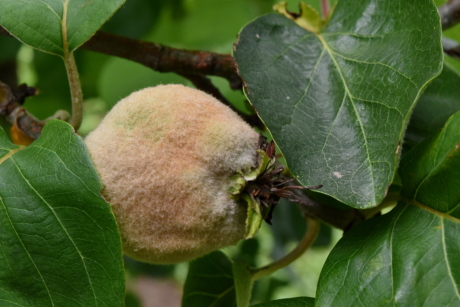 detail, fruit tree, green leaves, organic, quince, produce, leaf, tree, nature, flora