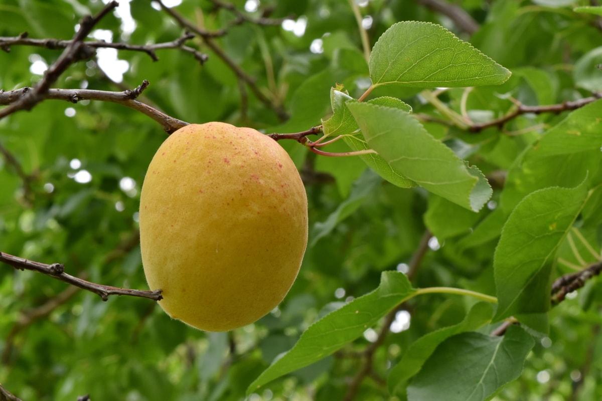 살구, 큰, 분기, 과일 나무, 과일, 잎, 자연, 여름, 야외에서, 음식