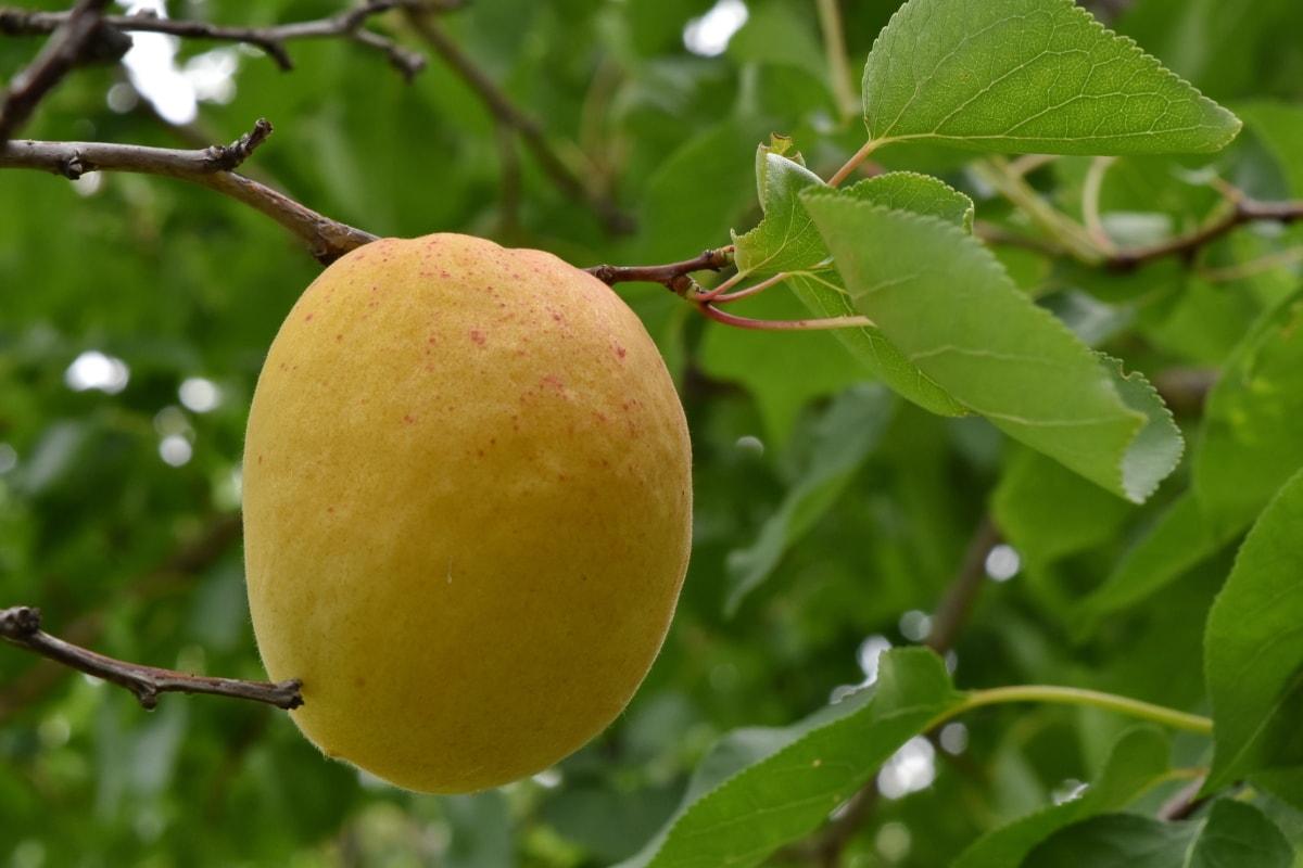 aprikot, pohon buah, kebun buah-buahan, pohon, daun, jeruk, alam, Makanan, buah, musim panas