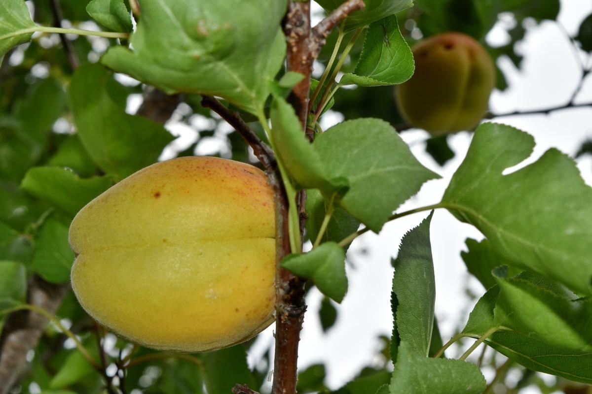 абрикос, фруктовый сад, Природа, лист, питание, фрукты, Лето, Здравоохранение, Сельское хозяйство, на открытом воздухе
