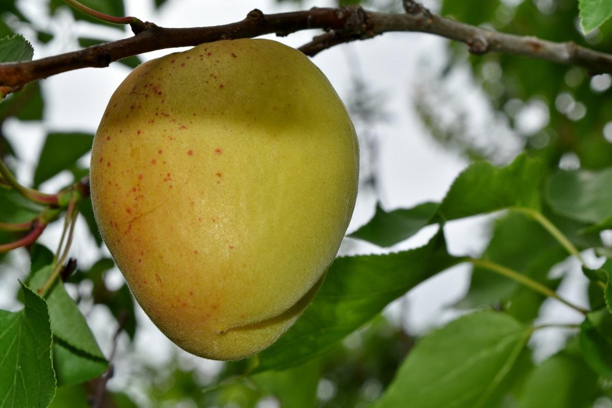 filial, pomar, pêssego, delicioso, fresco, natureza, folha, frutas, Verão, saúde