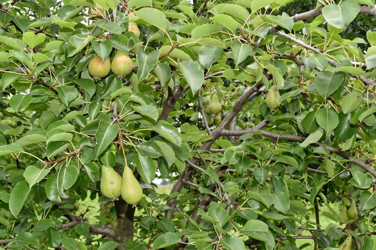 Περιβόλι, τα αχλάδια, δέντρα, παράγει, φύλλο, υποκατάστημα, τροφίμων, φρούτα, Γεωργία, δέντρο
