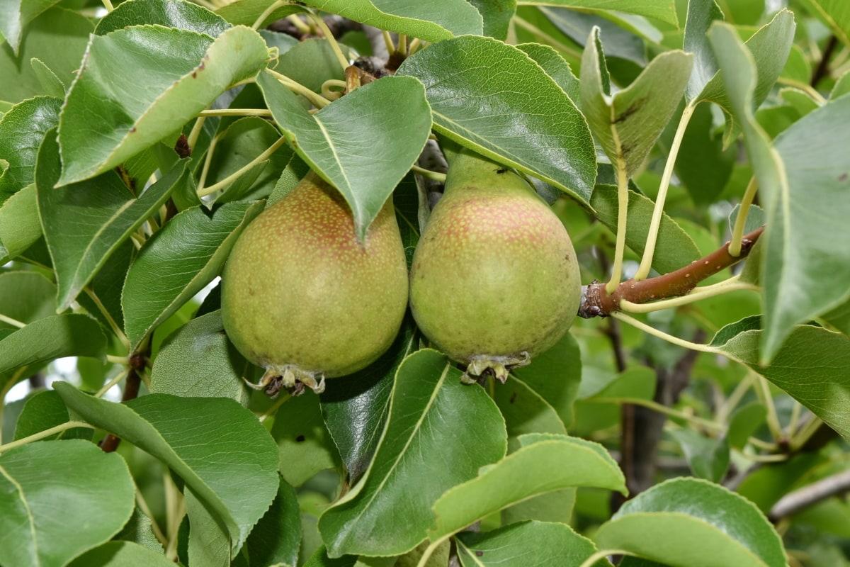 ovocný sad, organický, hruška, hrušky, Příroda, list, ovoce, jídlo, strom, zdraví