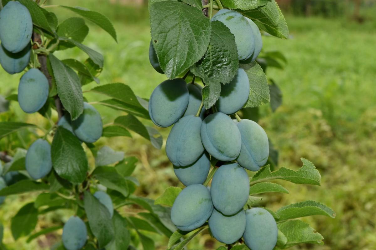 клонове, органични, слива, природата, плодове, селско стопанство, листа, вино, на открито, клон