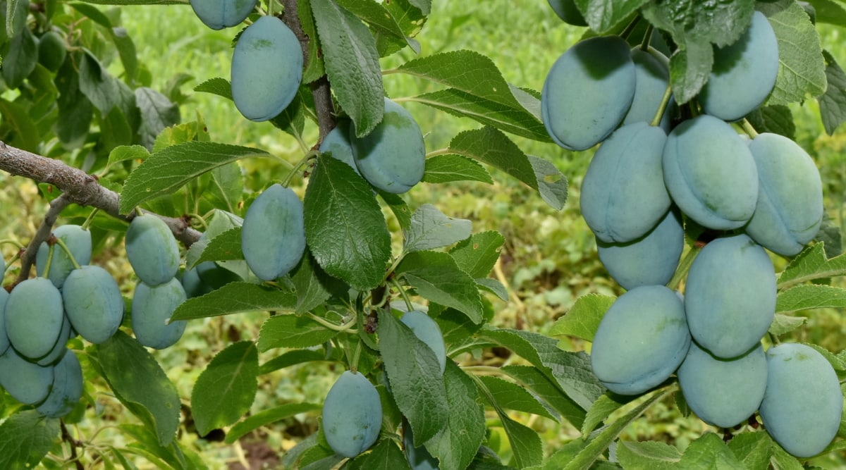 zeleno lišće, voćnjak, šljiva, priroda, poljoprivreda, list, voće, na otvorenom, zdravlje, grana