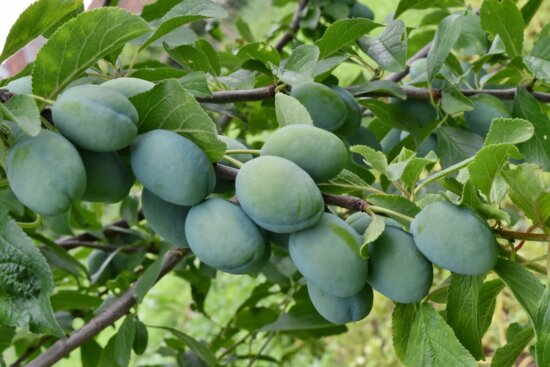 branches, green, orchard, plum, nature, agriculture, leaf, fruit, food, tree