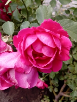 beautiful flowers, flower garden, petals, pinkish, roses, bouquet, spring, rose, pink, romance