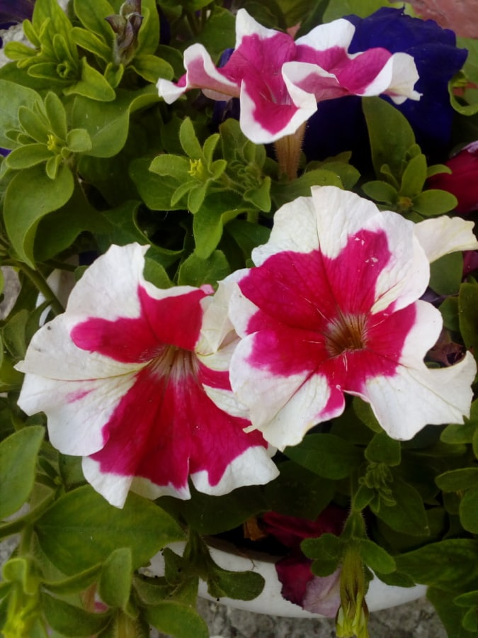 барвистий, Брунька квітки, квітник, квіти, зелене листя, пелюстки, Пелюстка, петунії, рожевий, сад