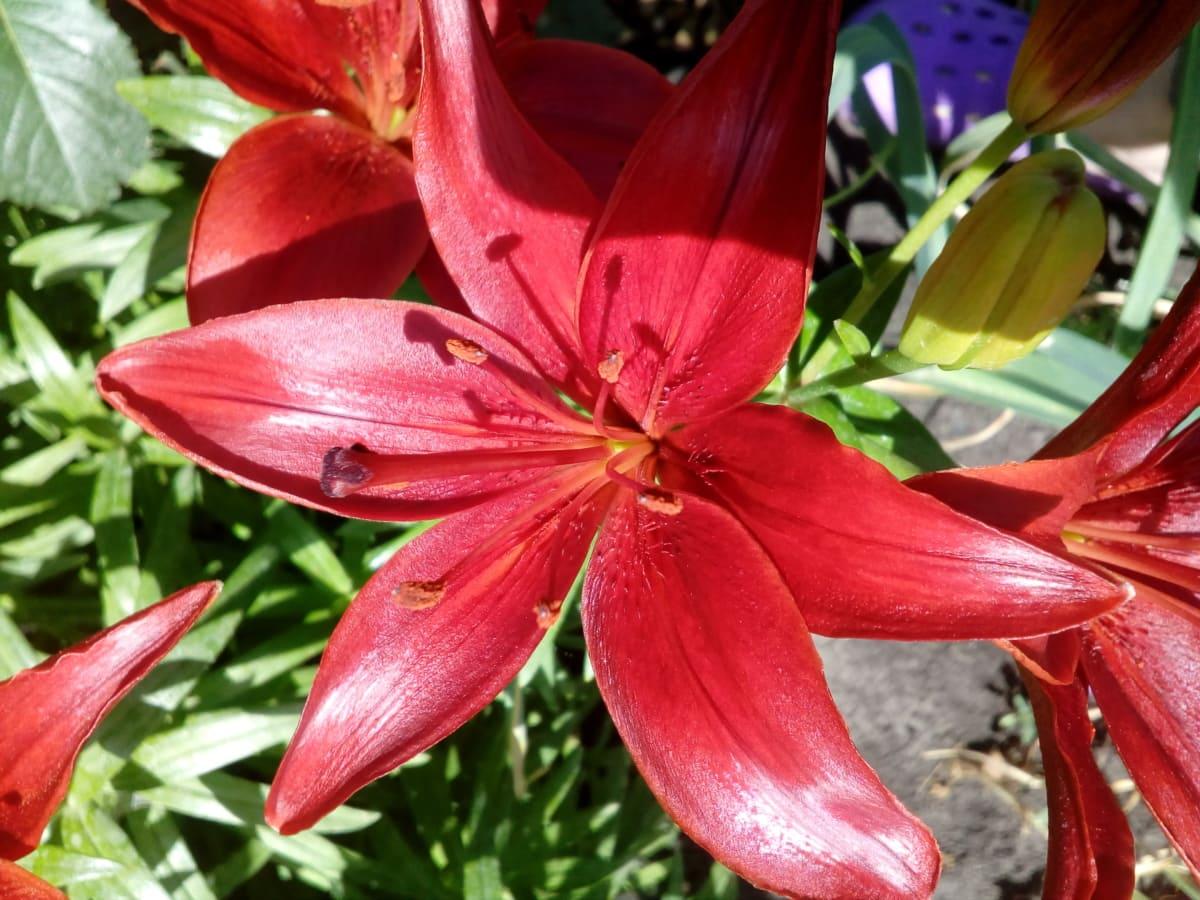 Szczegóły, kwiat, Kwiat ogród, Słupek, zapylanie, czerwony, płatki, lilia, różowy, ogród