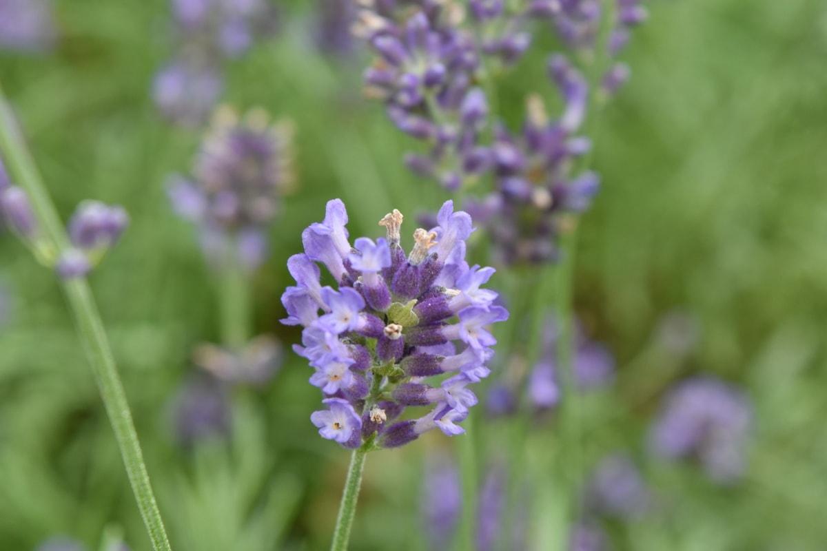 Aromaterapi, græs, lavendel, ENG, natur, lilla, plante, blomst, plante, busk