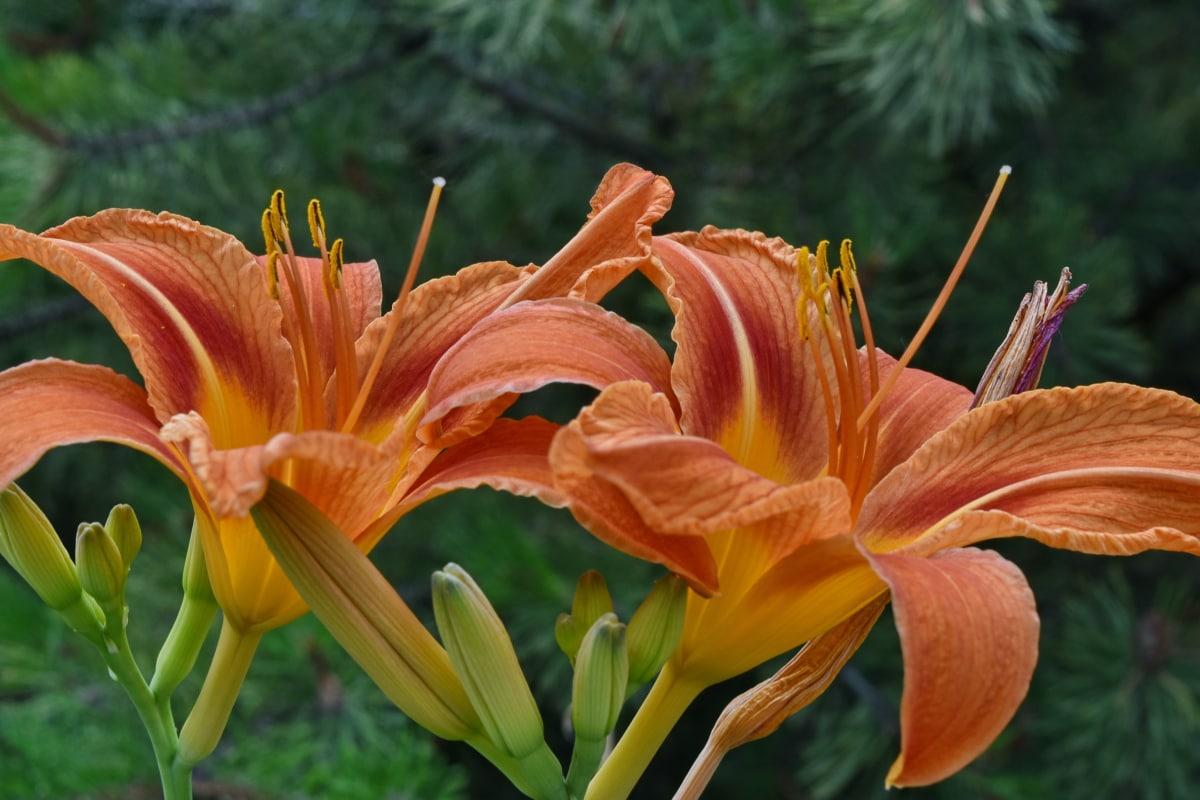 colour, details, environment, horticulture, lily, natural habitat, flora, nature, flower, garden