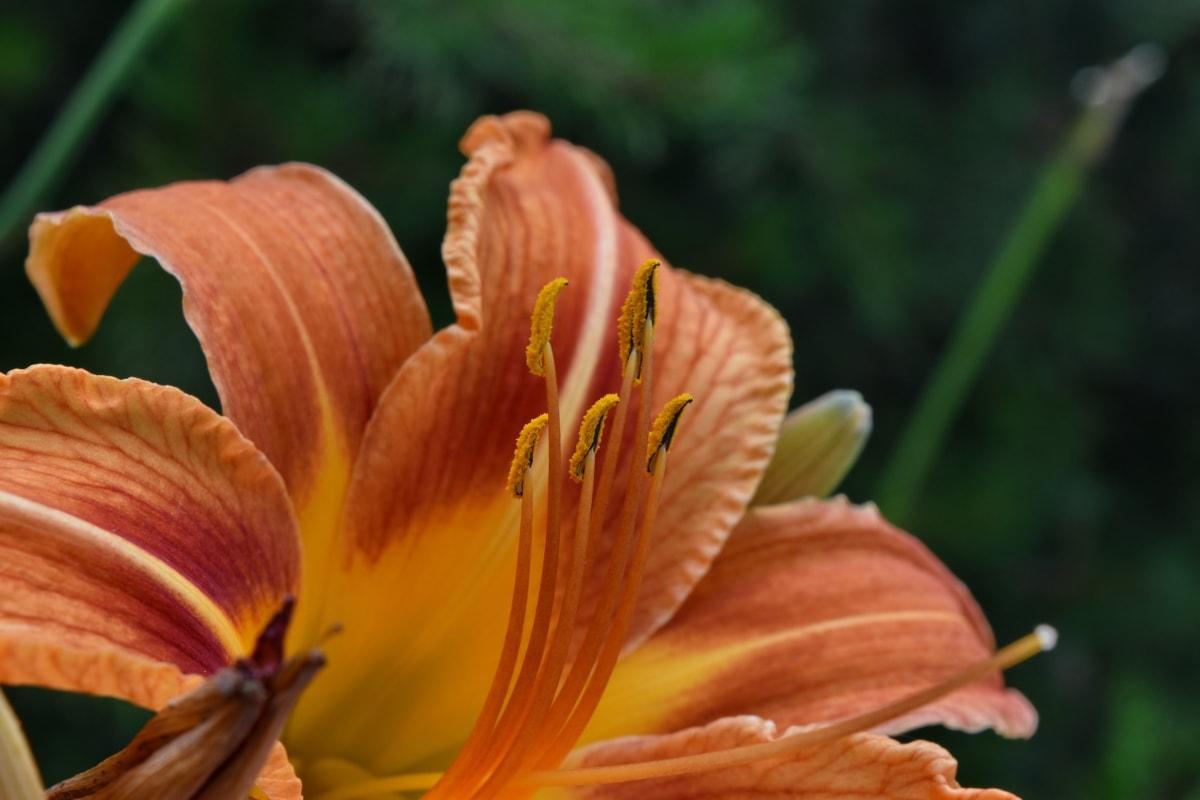 από κοντά, κομψό, εξωτικά, κρίνος, νέκταρ, ύπερο, φύση, πέταλο, λουλούδι, φύλλο