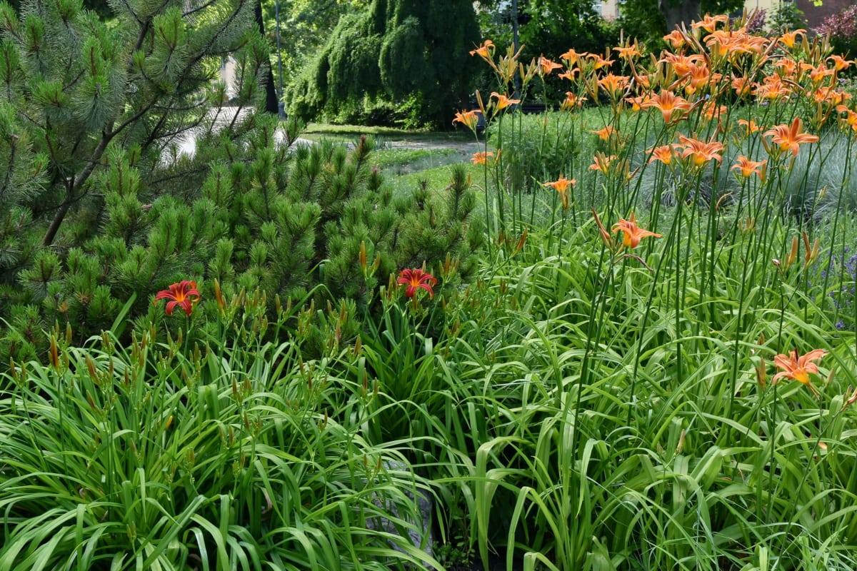 хвойних дерев, сад, Садівництво, Весняний час, Луговий, природа, рослина, трава, літо, квітка