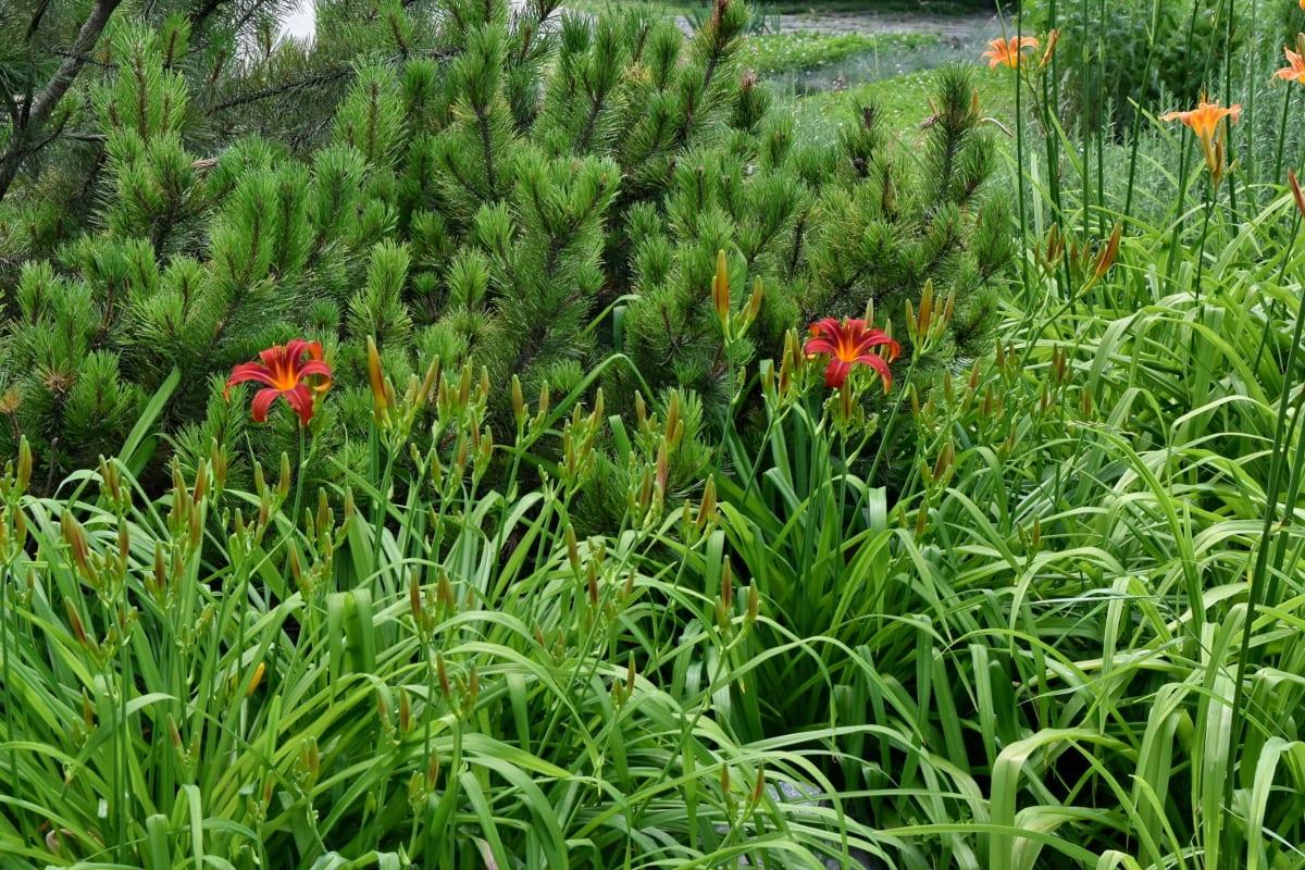 хвойные породы, цветочный сад, Лили, трава, Природа, сад, завод, Лето, поле, трава