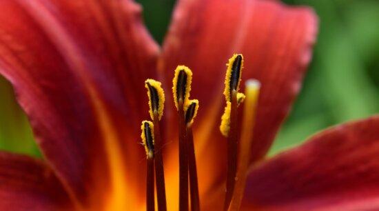 belle photo, macro, photographie, pistil, fleur, jardin, nature, plante, pétale, brillant