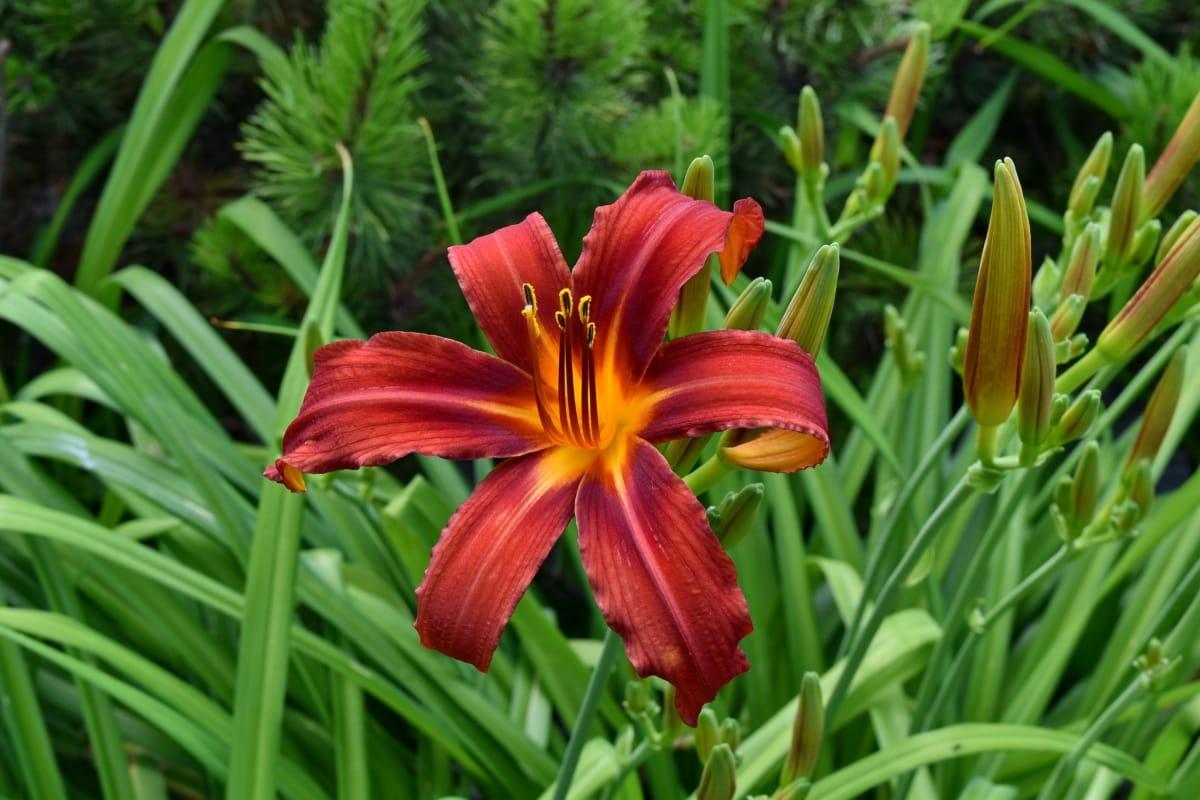 kauniita kukkia, ekologia, kukka puutarha, lilja, lehti, ulkona, kukka, kesällä, Luonto, kukka
