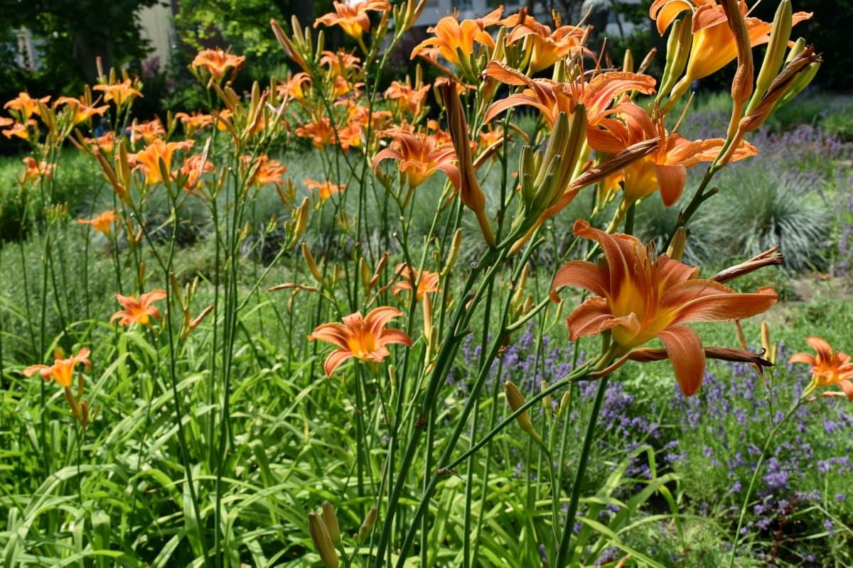 zelená tráva, záhradníctvo, ľalia, lúka, tyčinka, flóra, príroda, rastlín, kvet, Záhrada