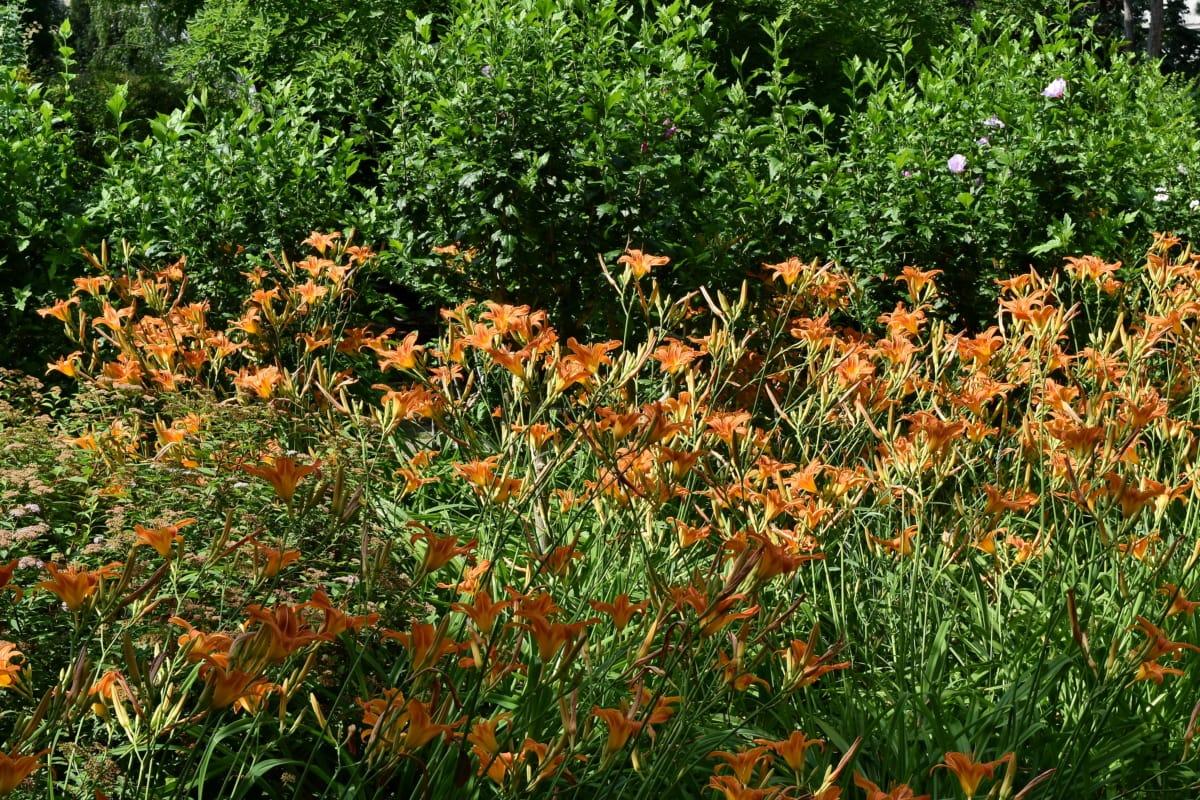 landskapet, blomsterhage, hage, lilje, busk, våren, vegetasjon, blad, Sommer, natur