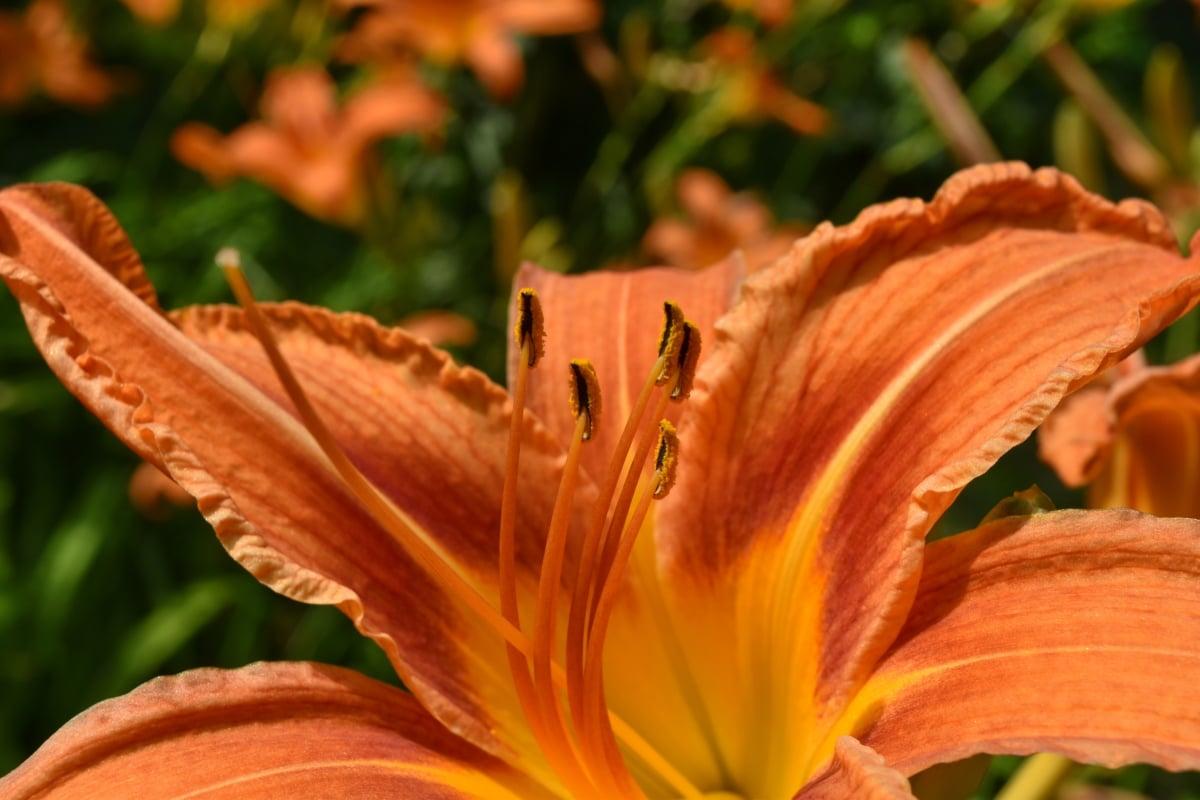 zahradnictví, Příroda, květ, list, lilie, venku, Flora, léto, Barva, rozostření