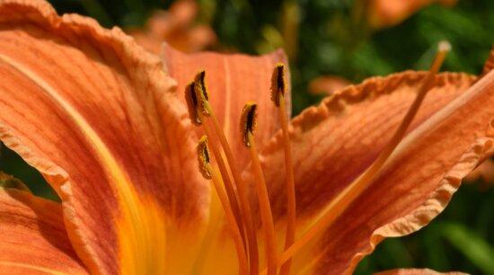 biológia, Kertészet, liliom, bibe, nyári szezon, virág, természet, levél, Flóra, szabadban