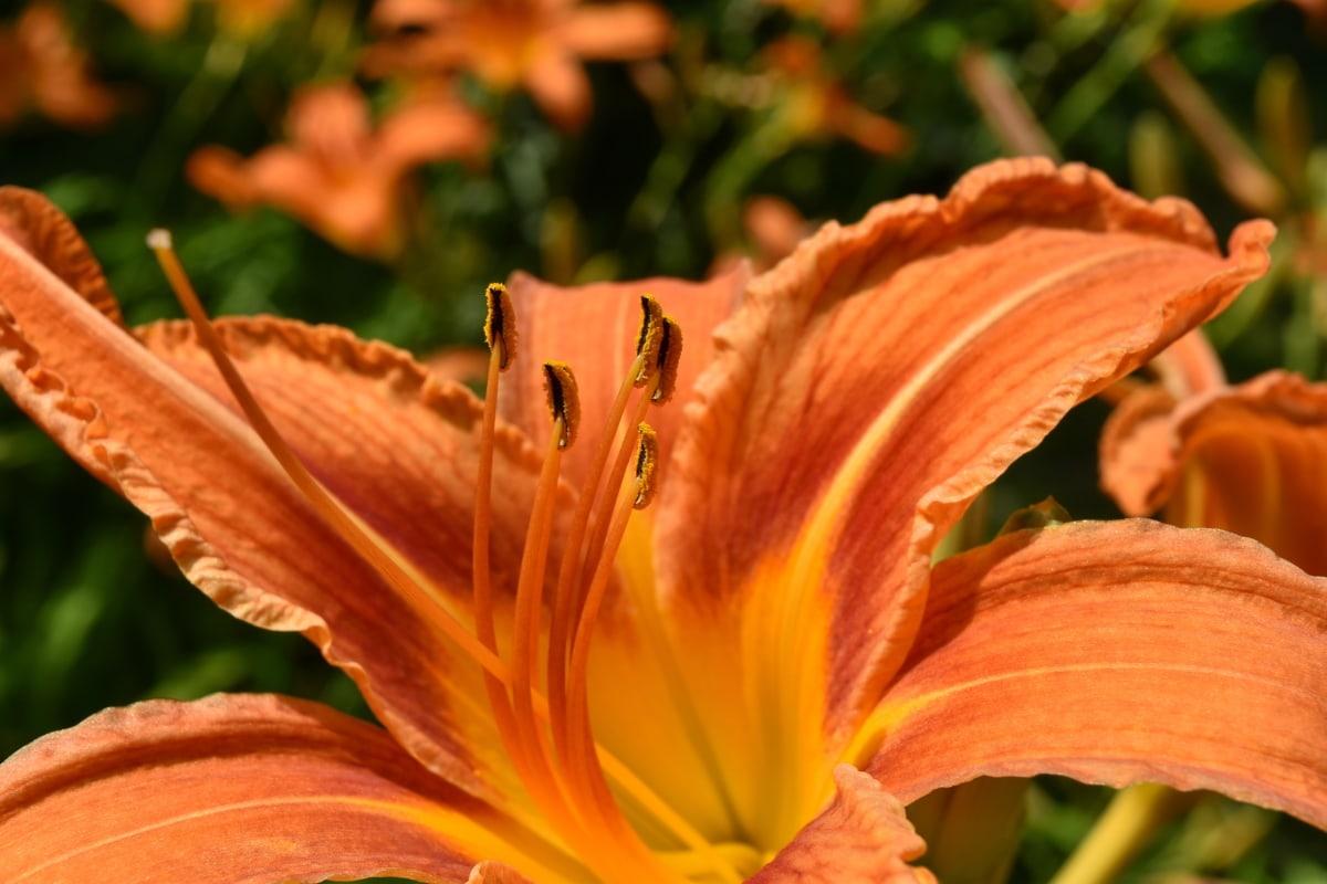 yakın, ayrıntı, Bahçe Bitkileri, zambak, pistil, polen, çiçek, bitki, doğa, yaprak