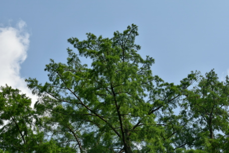 branches, conifers, green leaves, spring time, trees, leaf, wood, forest, nature, plant