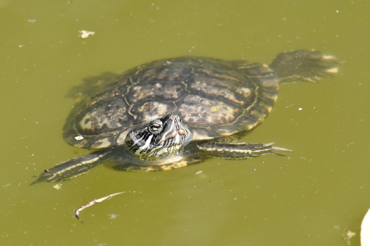 ekologija, kornjača, gmaz, priroda, voda, životinja, bazen, biljni i životinjski svijet, vodozemac, tijekom