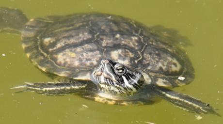 bedreigde soorten, endemisch, zwemmen, schildpad, onderwater, dieren in het wild, reptielen, dier, natuur, Zwembad