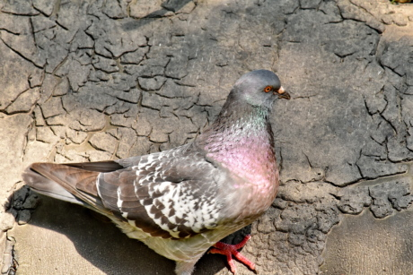 pigeon, wildlife, feather, animal, beak, bird, nature, ground, wild, grey