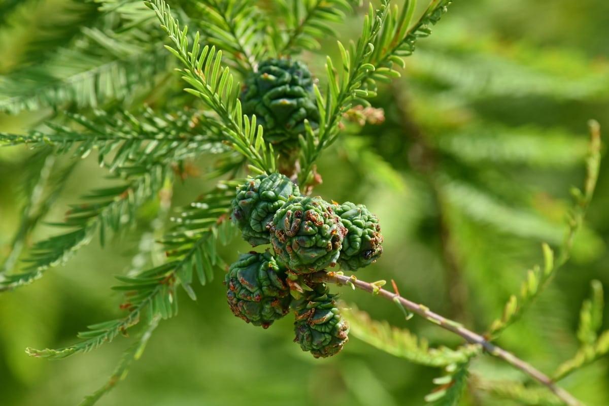 pobočky, jehličnatý, Les, zelené listy, závod, Příroda, strom, borovice, list, větev
