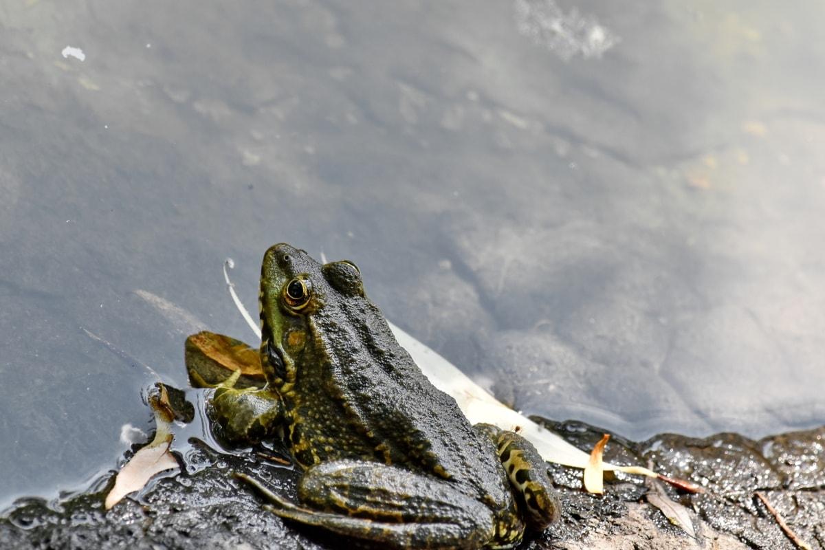 vodozemac, biljni i životinjski svijet, velika žaba, žaba, priroda, voda, jezero, na otvorenom, životinja, divlje