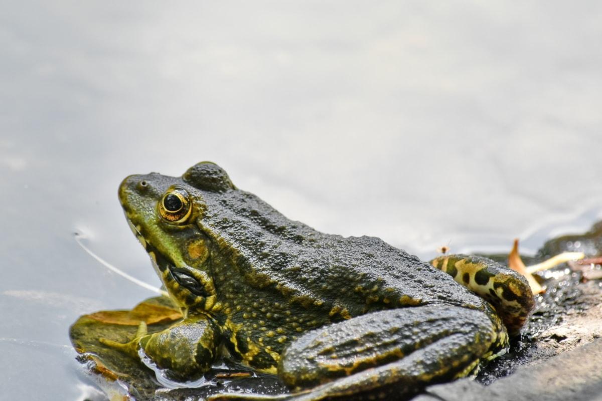 gefährdete Arten, endemisch, Frosch, Amphibie, Tierwelt, Ochsenfrosch, Tier, Auge, Reptil, Natur
