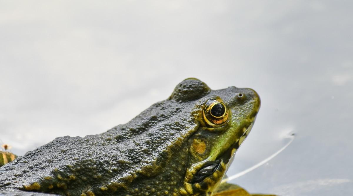 endemické, oko, žába, kůže, Příroda, obojživelníků, divoká zvěř, drsná, zvíře, voda