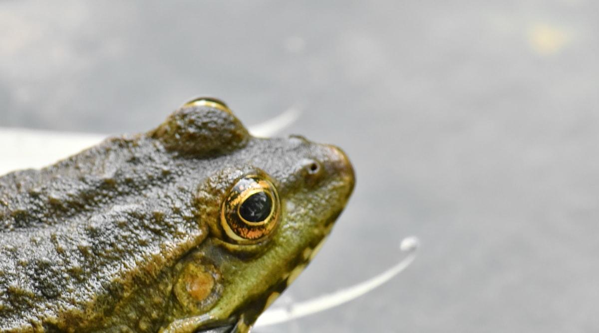 oog, dier, wormsalamanders, Brulkikker, dieren in het wild, natuur, kikker, water, buitenshuis, reptielen