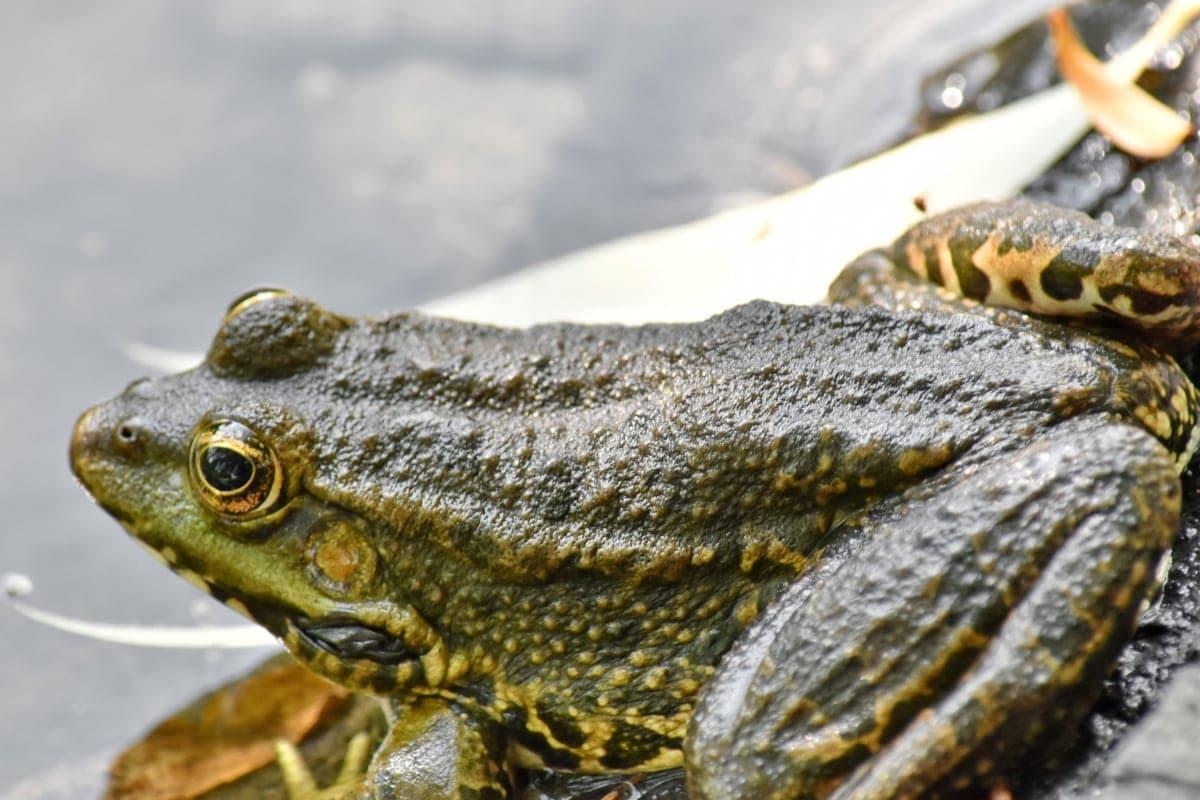 oko, płazów, gad, Natura, żaba, dzikich zwierząt, zwierzę, żaba rycząca, biologii, dziki
