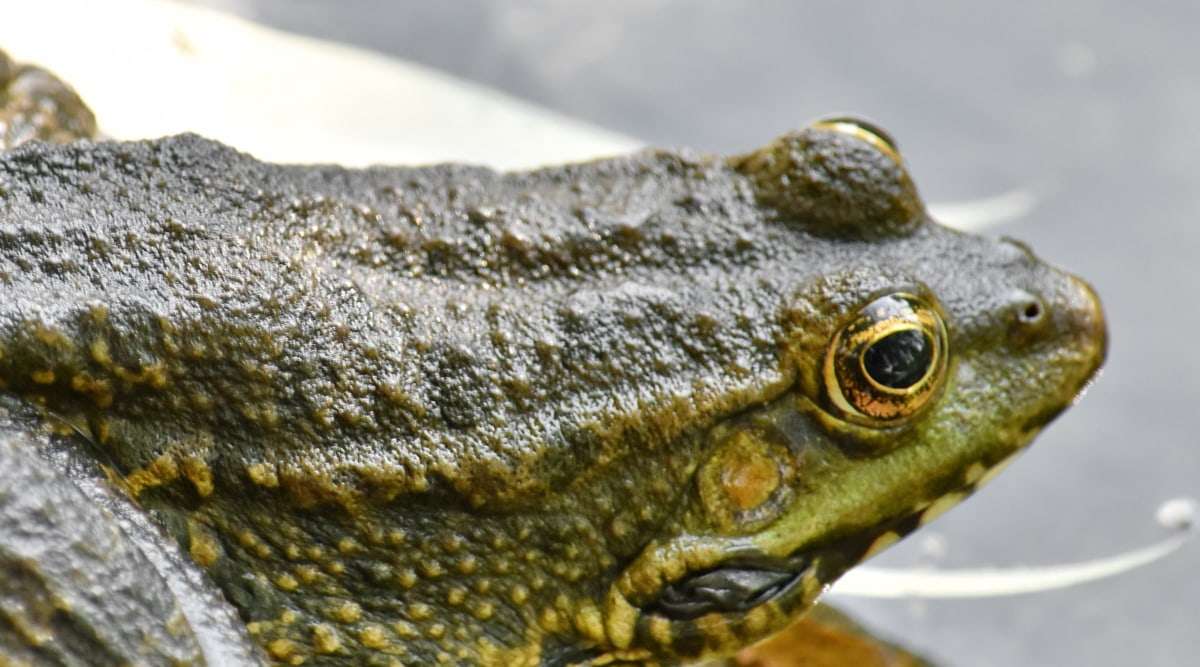 oog, kikker, groenachtig geel, nat, natuur, wormsalamanders, Brulkikker, dieren in het wild, dier, buitenshuis