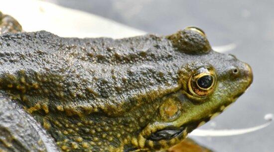 Auge, Frosch, grünlich gelb, nass, Natur, Amphibie, Ochsenfrosch, Tierwelt, Tier, im freien