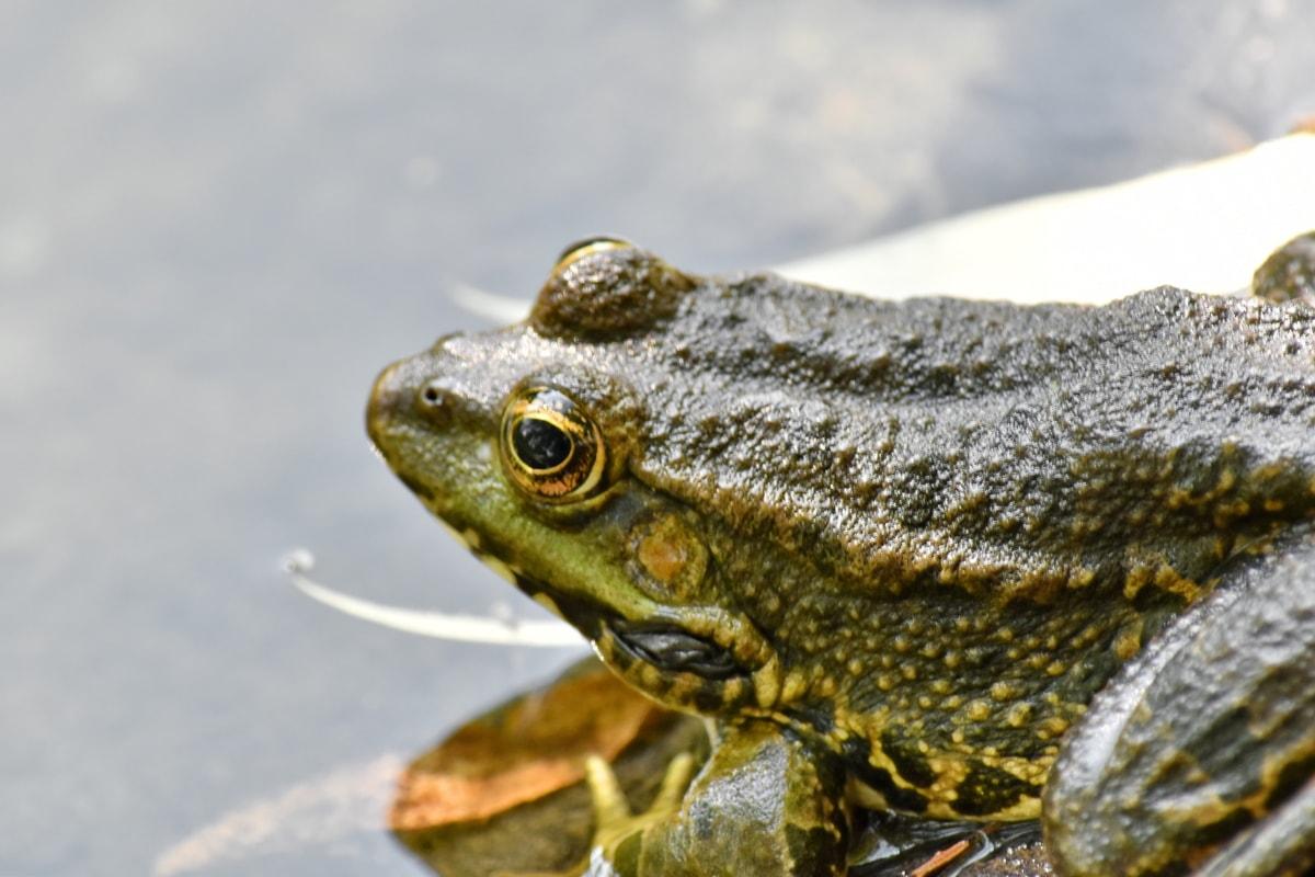 Tier, gefährdete Arten, endemisch, Frosch, tropische, Tierwelt, Amphibie, Natur, Auge, Ochsenfrosch