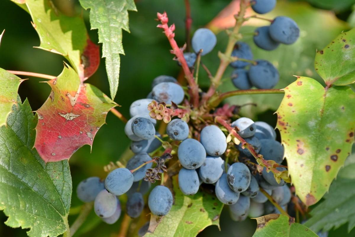 natur, blad, frugt, vin, busk, flora, landbrug, flok, gren, udendørs